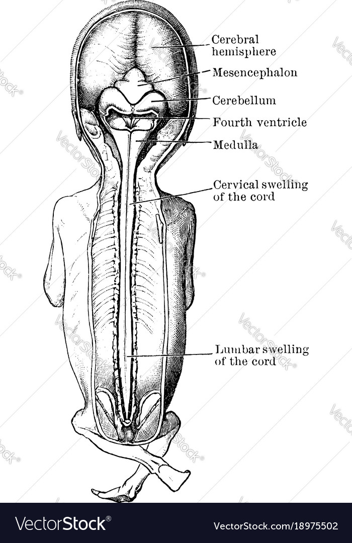 Brain and spinal cord of fetus vintage Royalty Free Vector