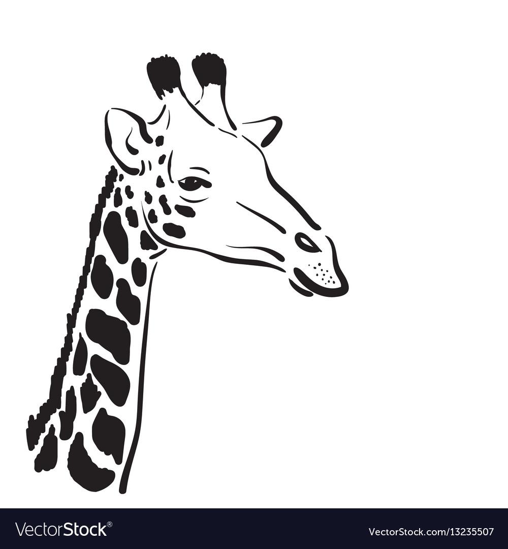 Giraffe head on white background wild animals