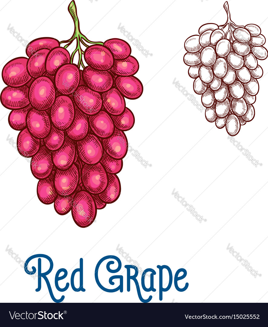 Red grape fruit isolated sketch for food design vector image