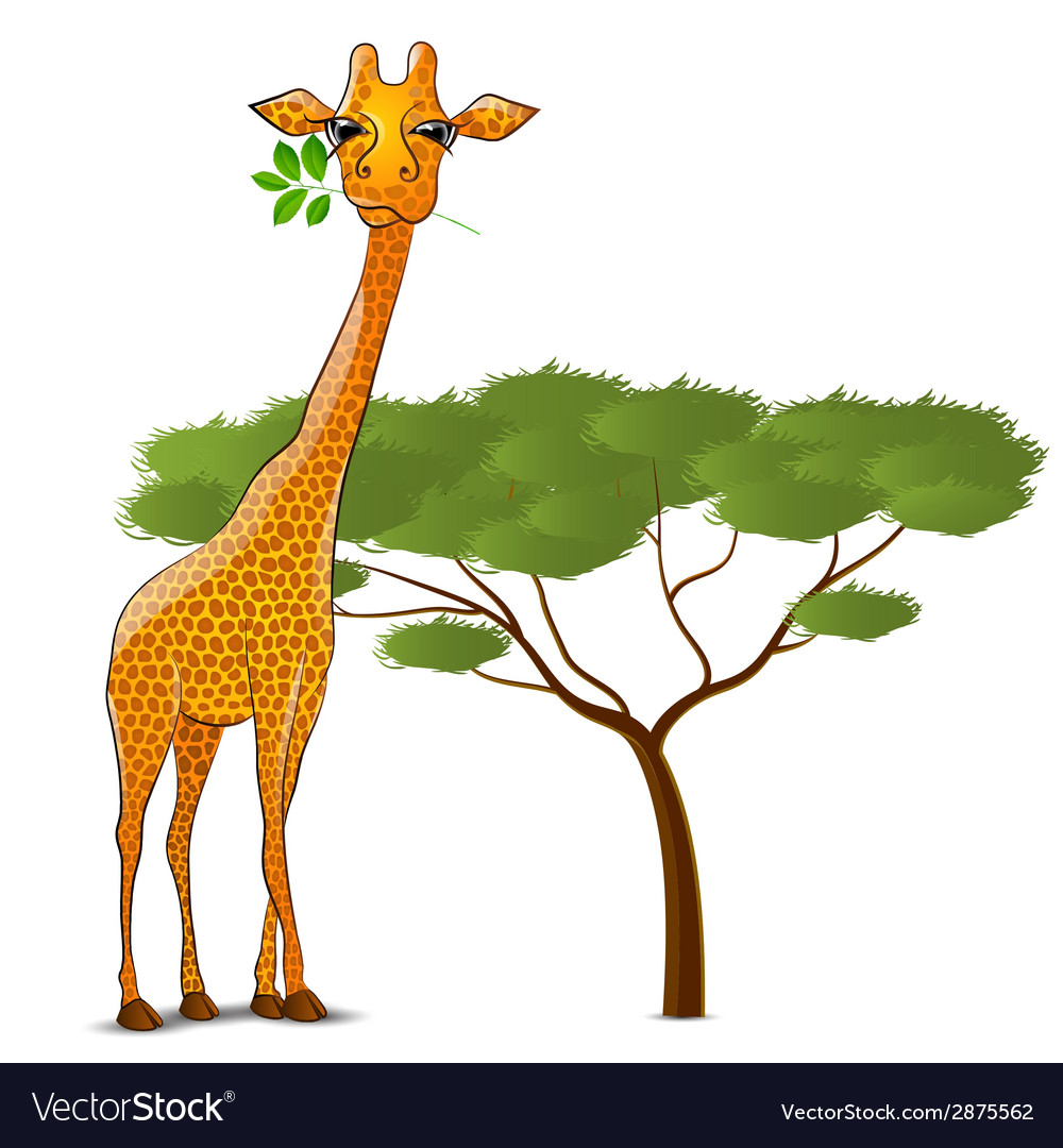 Giraffe eating leaves in Africa isolated