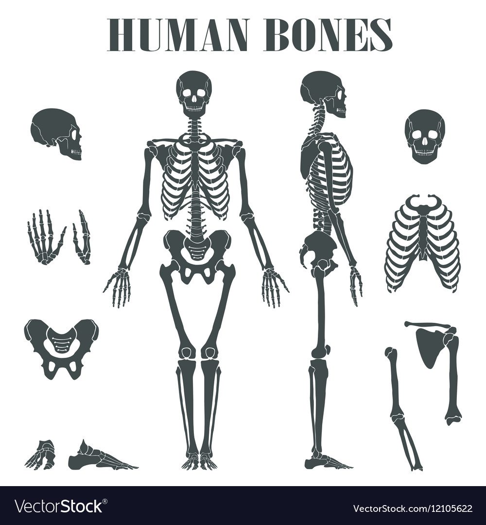 Human Skeleton With Different Parts Royalty Free Vector