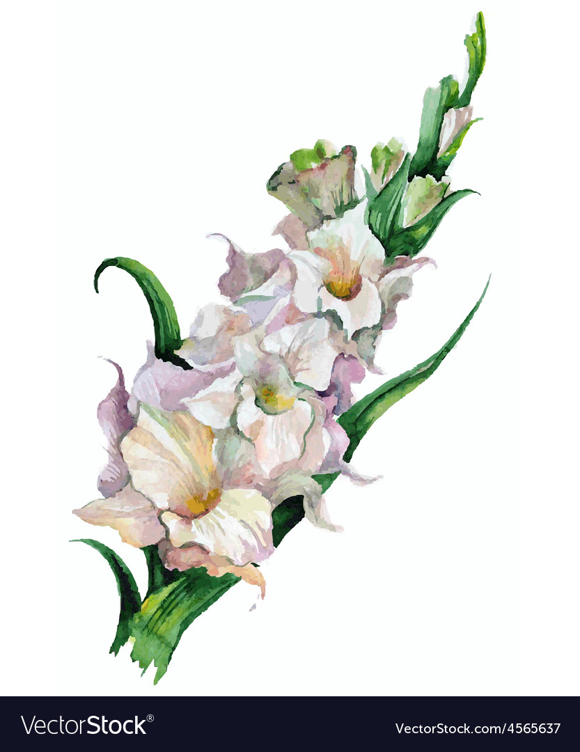 Gladiolus Flowers Painted Royalty Free Vector Image