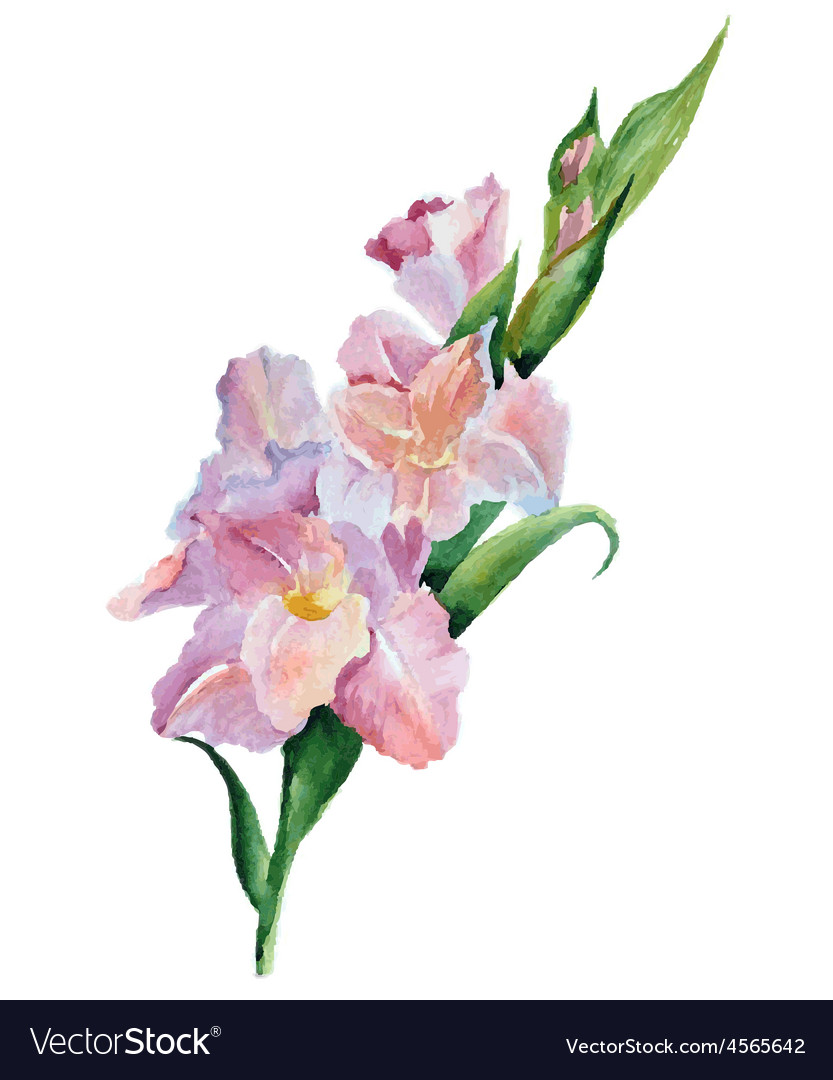 Gladiolus Flowers Watercolor Royalty Free Vector Image