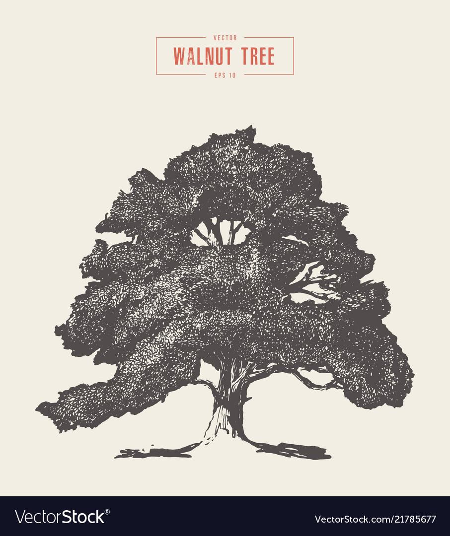 High detail vintage walnut tree hand drawn