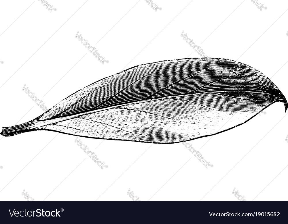 Leaf of ilex aquifolium bessonia vintage