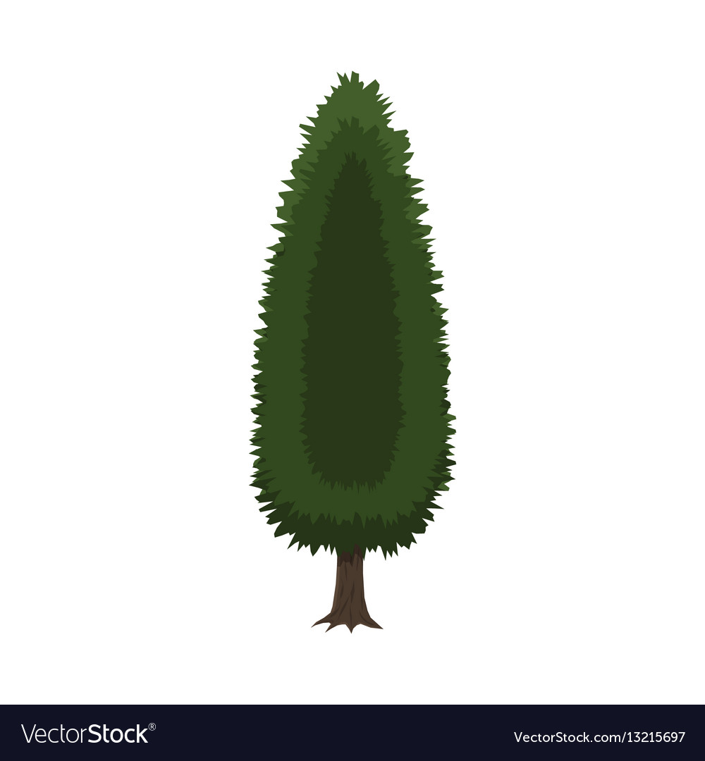 Cypress tree isolated on white vector image