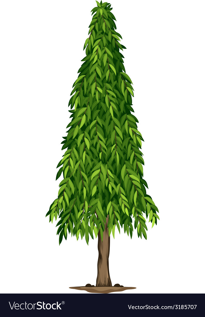 ashoka tree images  A tall ashoka tree Royalty Free Vector Image - VectorStock