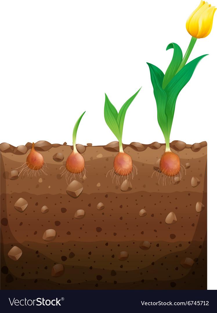 Tulip Flower Growing Underground Royalty Free Vector Image