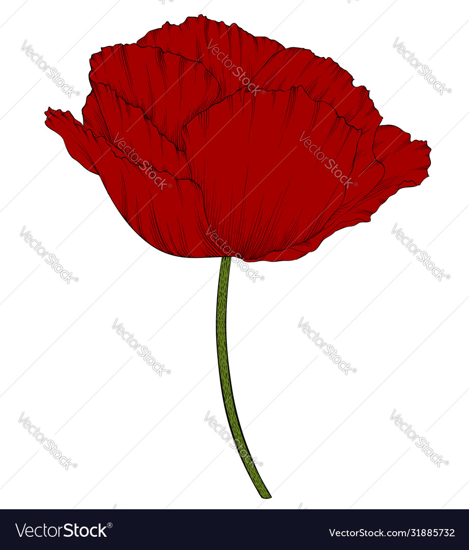 Red poppy in a hand-drawn graphic style isolated