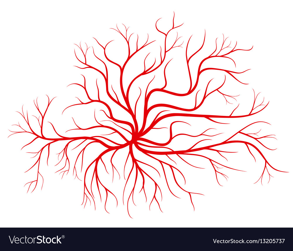 Human Blood Veins Red Vessels Royalty Free Vector Image