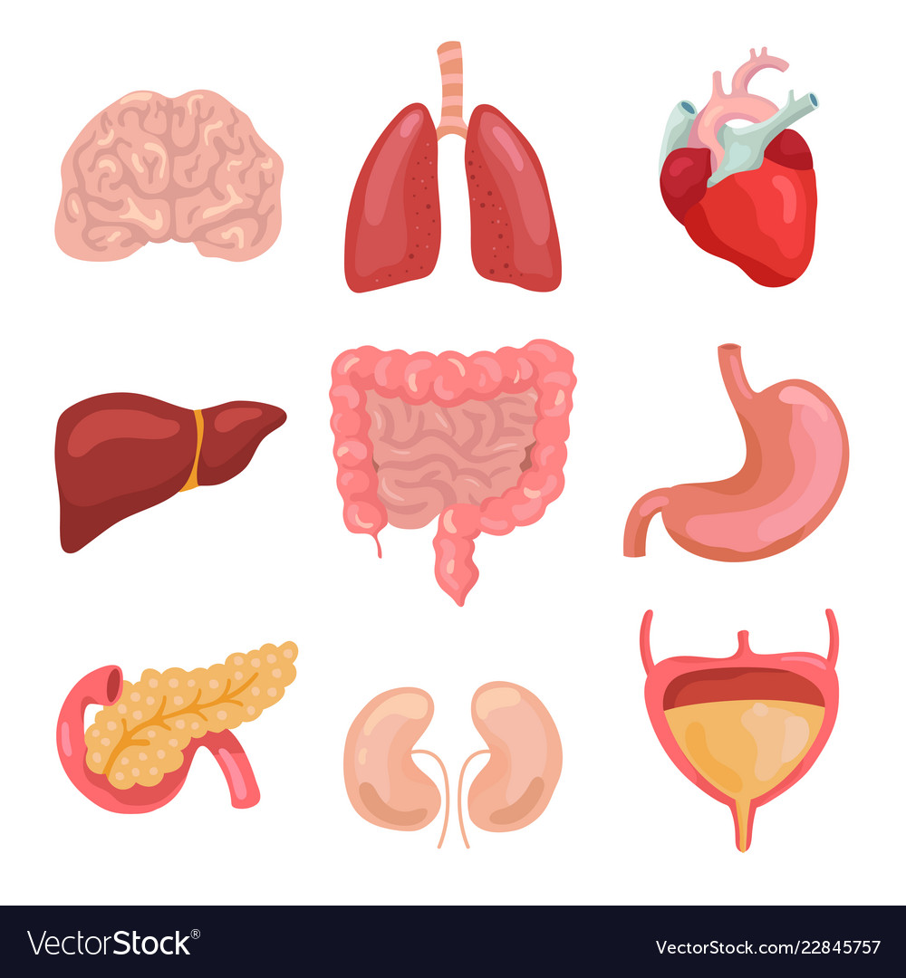 Cartoon human body organs healthy digestive