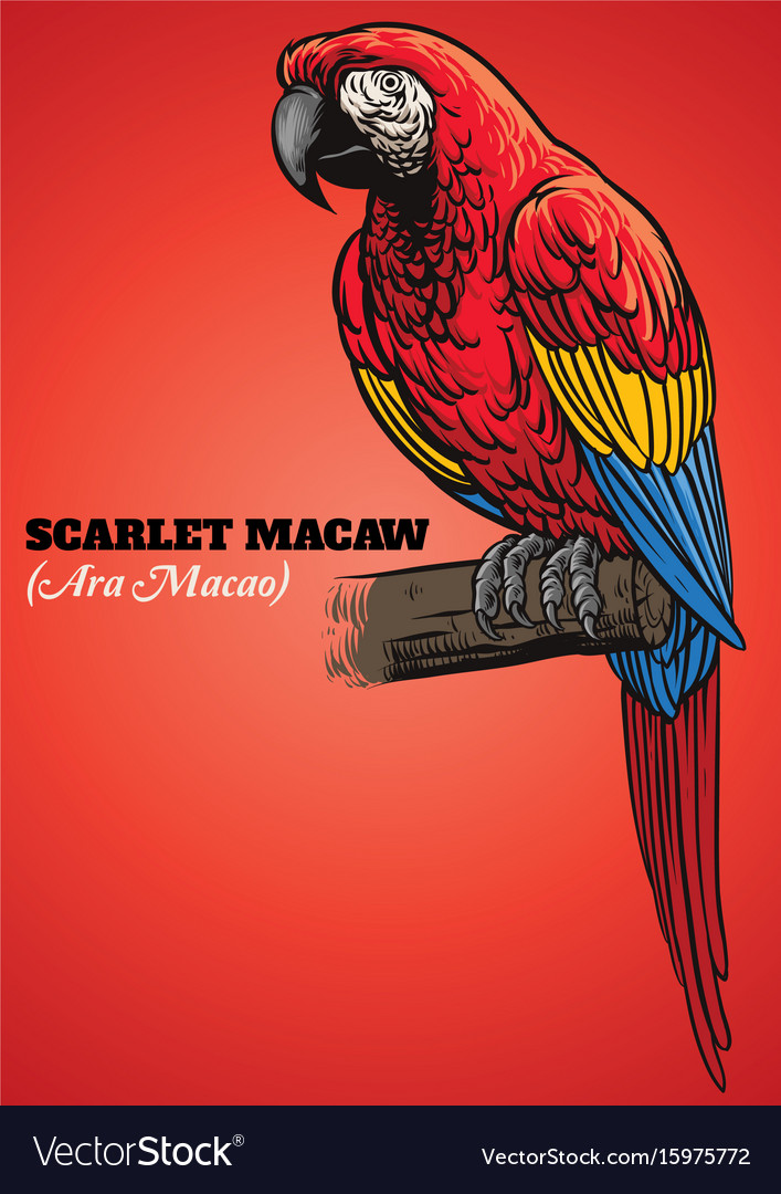 Scarlet macaw parrot vector image