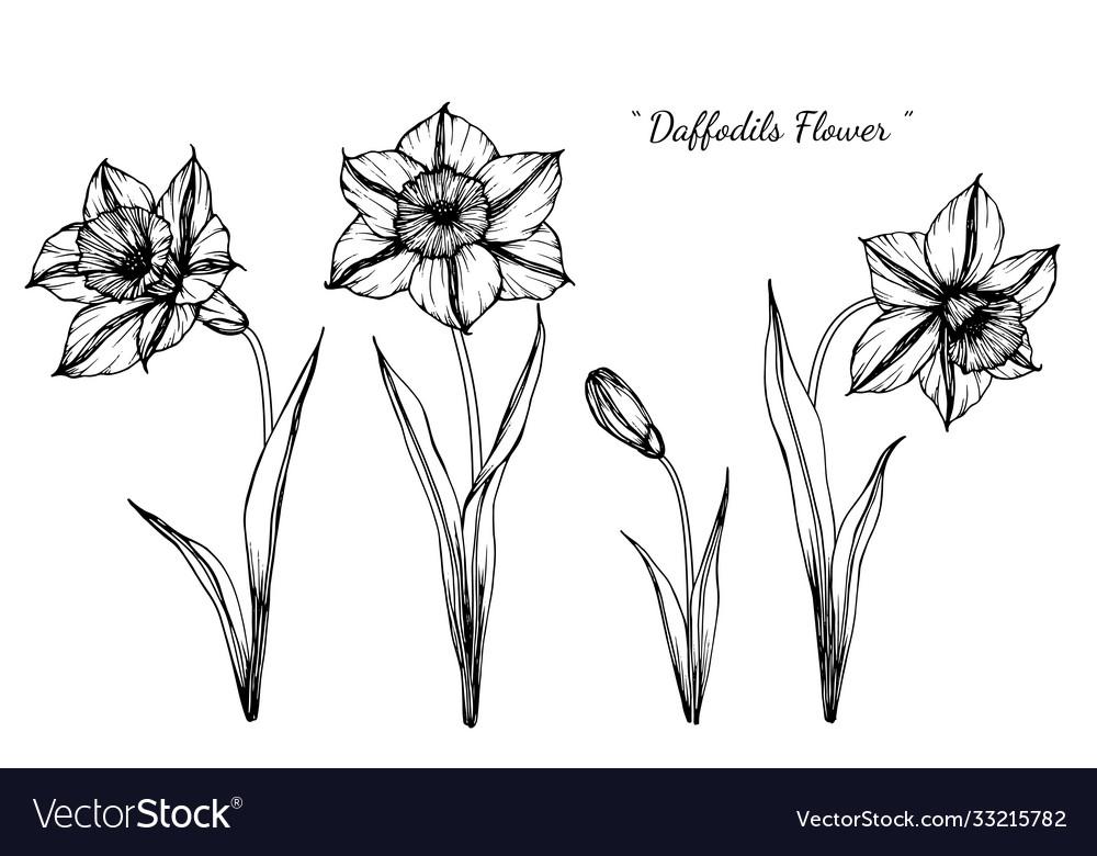 Daffodils flower and leaf hand drawn botanical