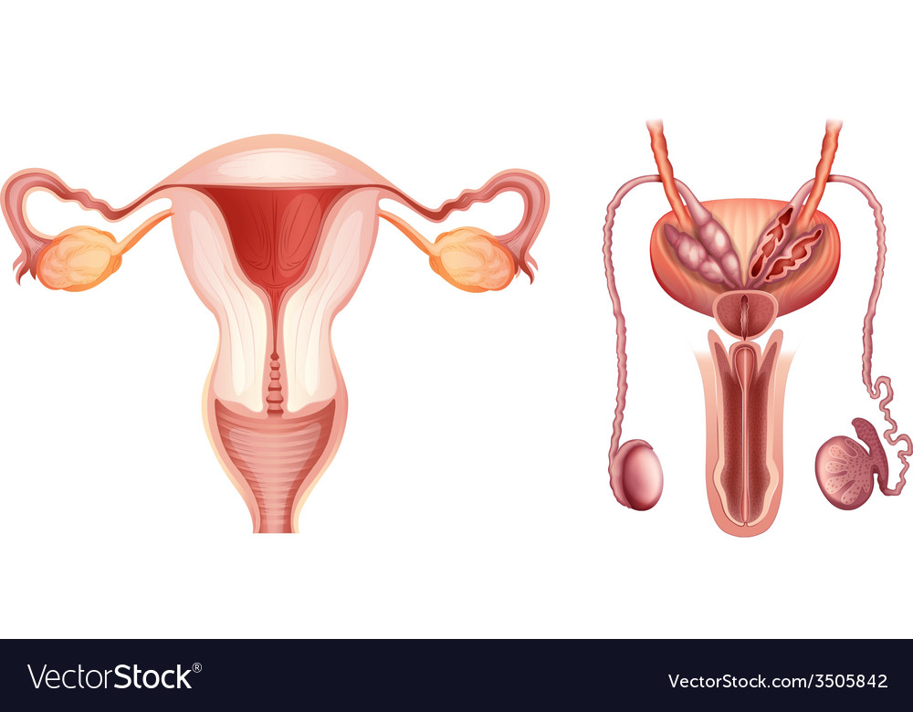 The Male And Female Reproductive Systems Vector Image