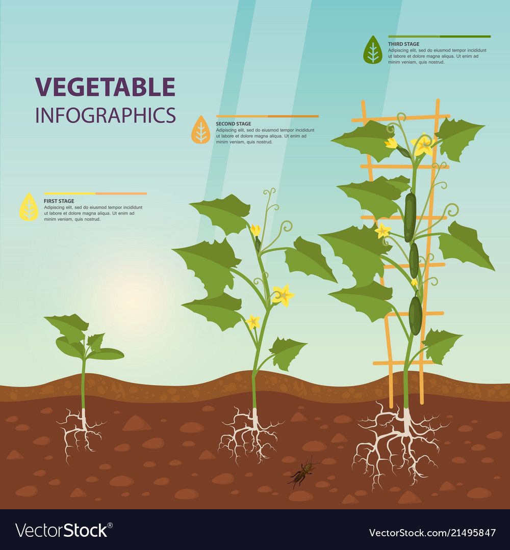 Cucumber or cuke on creeping vine infographic