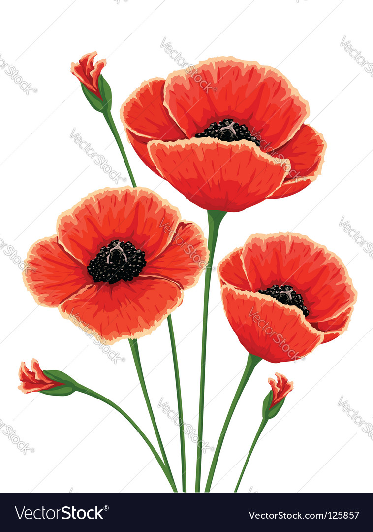 Red Poppy Flowers Royalty Free Vector Image Vectorstock