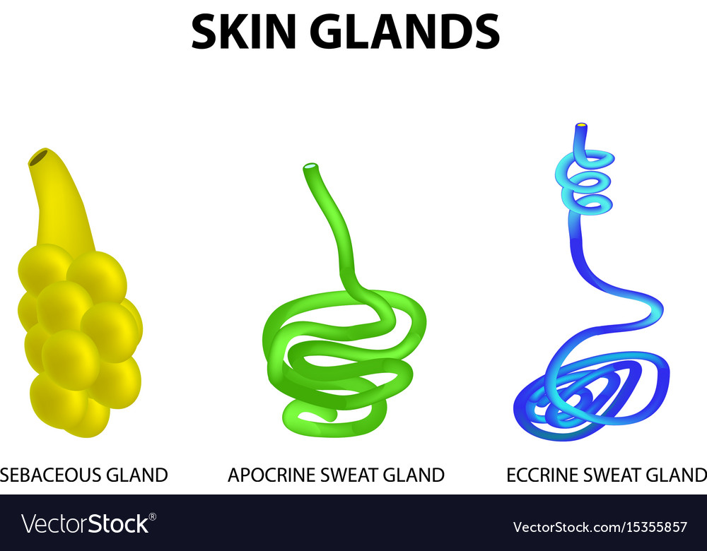 Structure of the glands of the skin sebaceous Vector Image
