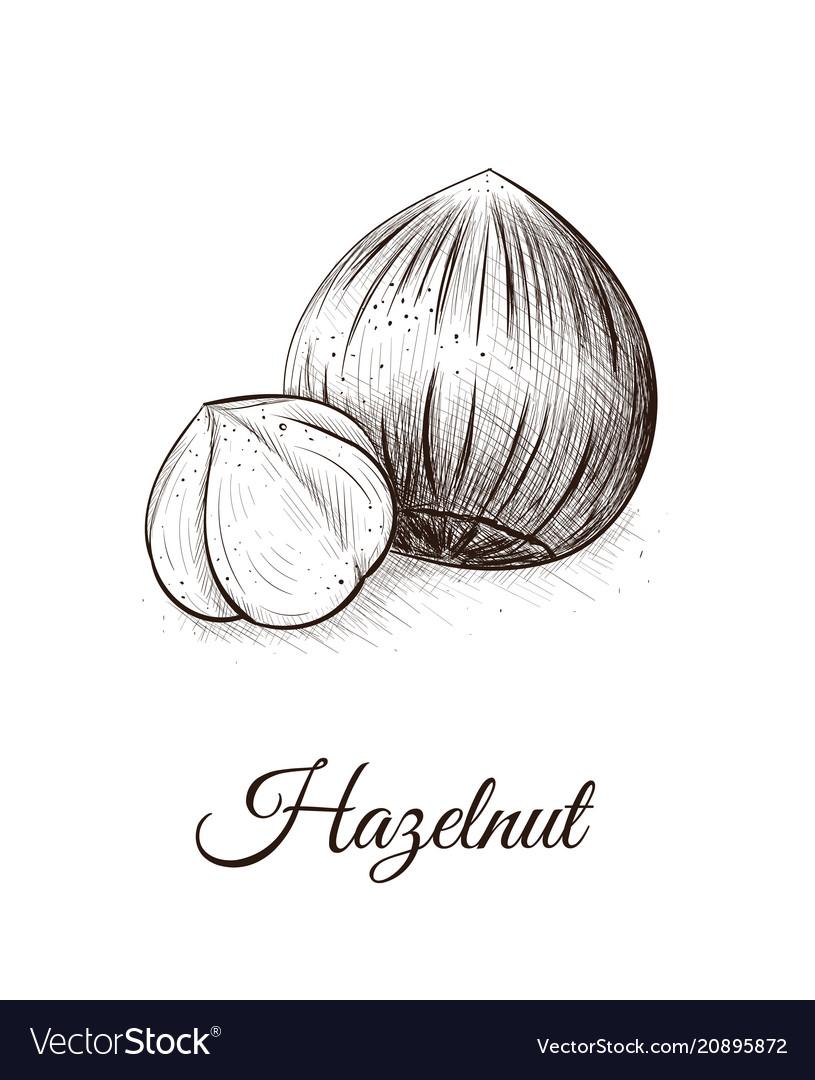 Hazelnut sketch