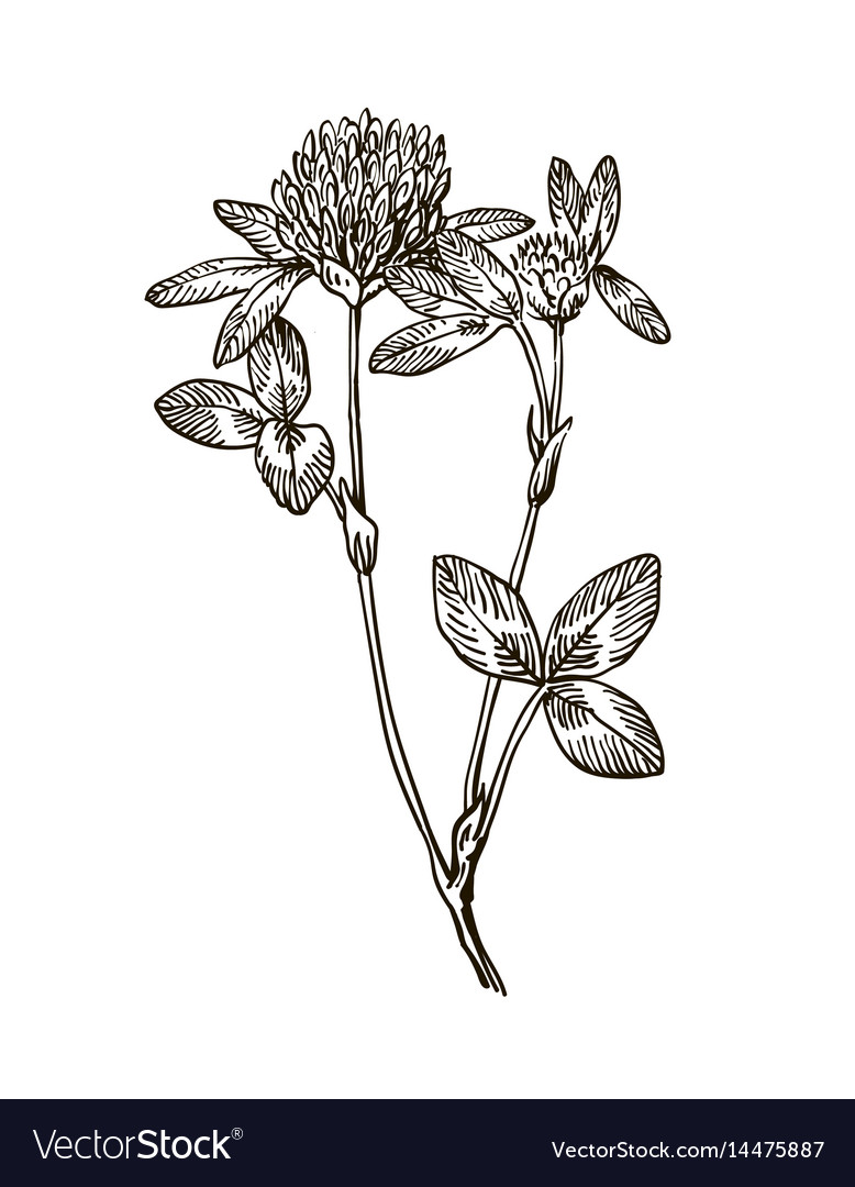 Ink clover herbal hand drawn