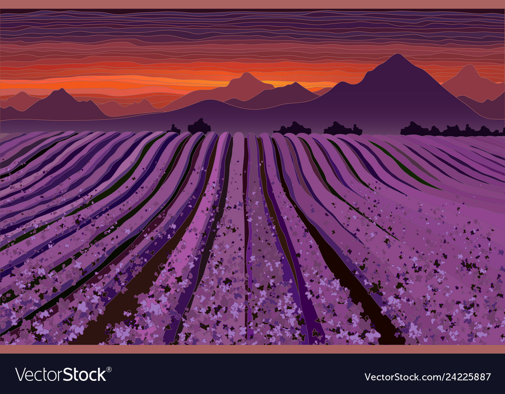Lavender Field At The Dusk Lines Of Flower Bushes Vector Image
