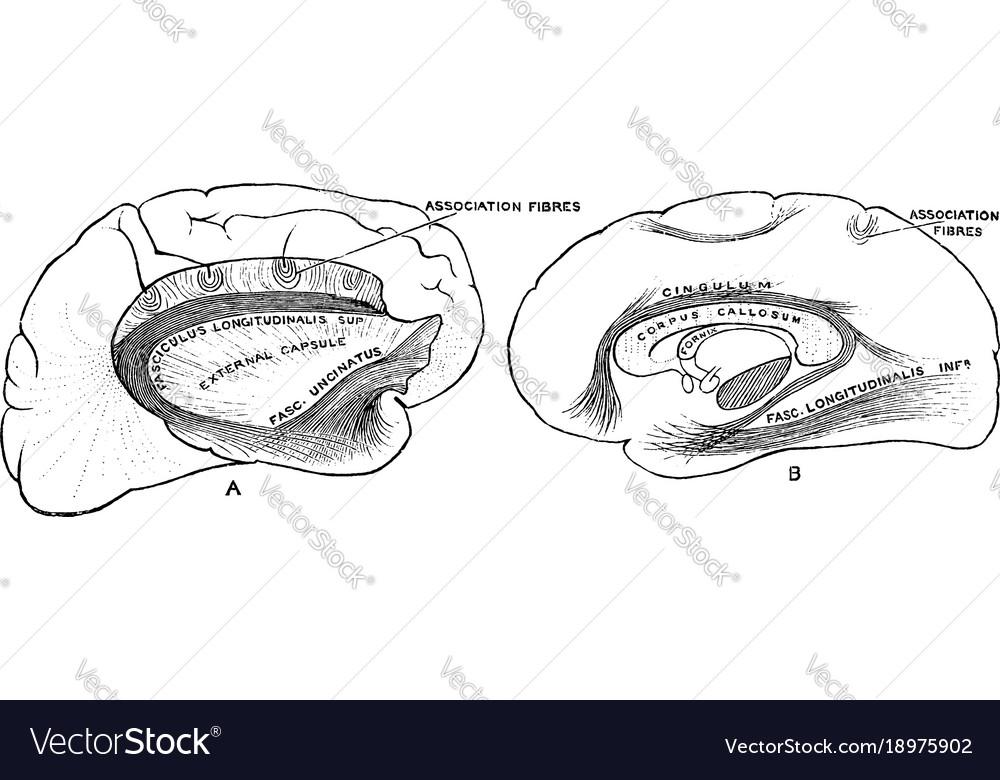 Association bundles of the cerebral hemispheres vector image