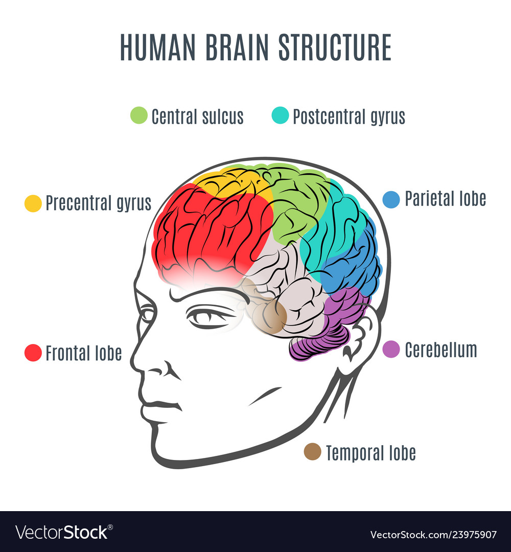 Human brain structure Royalty Free Vector Image