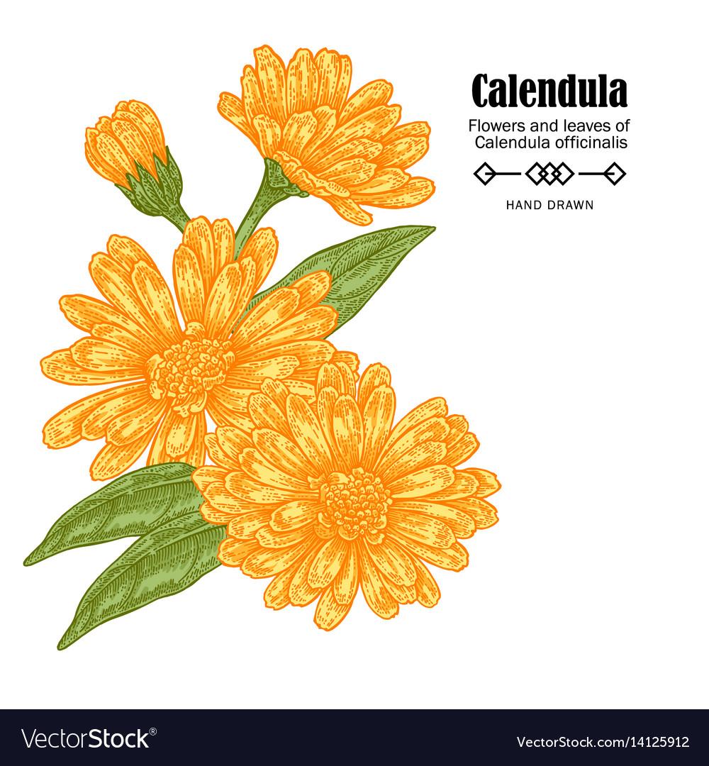 Calendula Flowers On White Royalty Free Vector Image