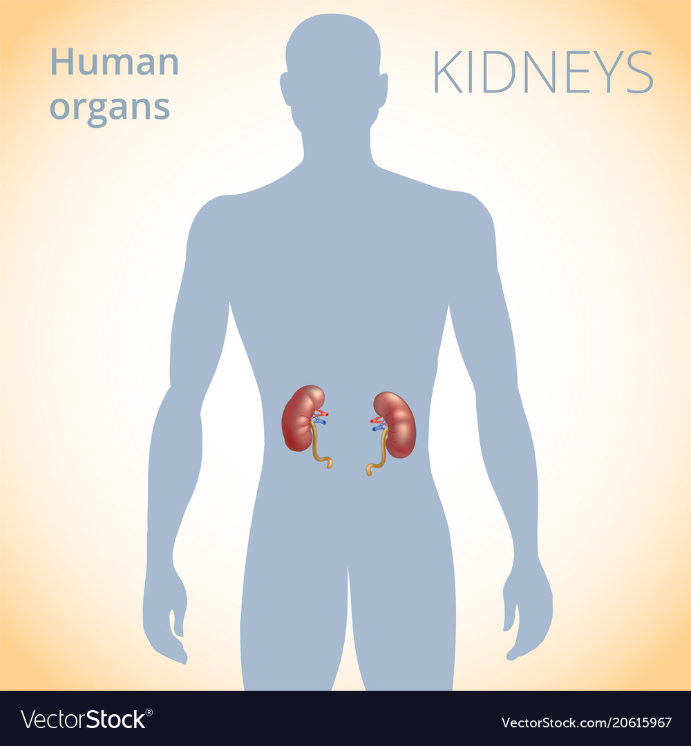 Location Of The Kidneys In The Body The Human Vector Image