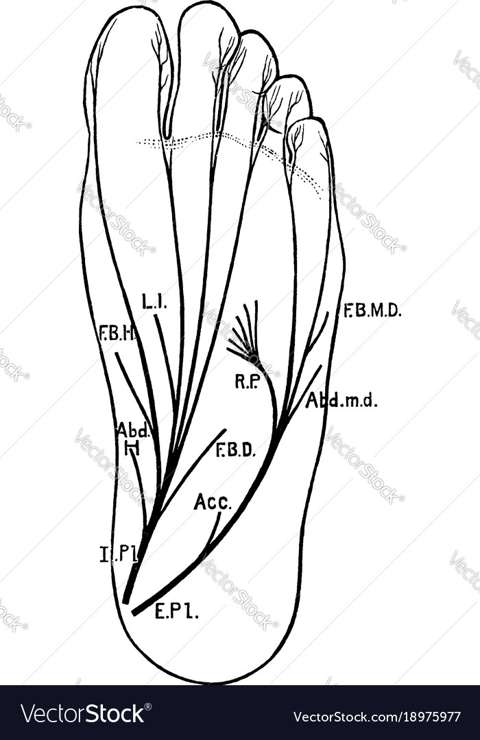Plantar nerves of the foot vintage Royalty Free Vector Image