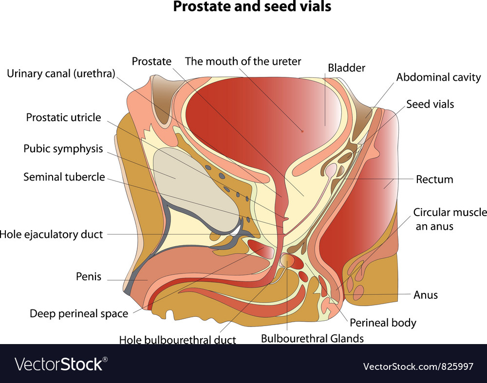 Prostate Royalty Free Vector Image - VectorStock