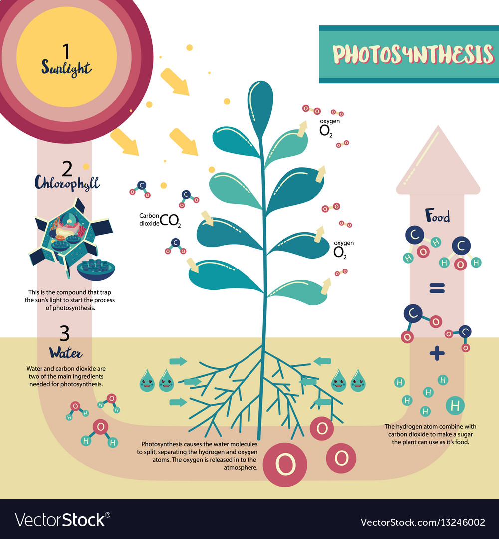 Photosynthesis Process Diagram Royalty Free Vector Image