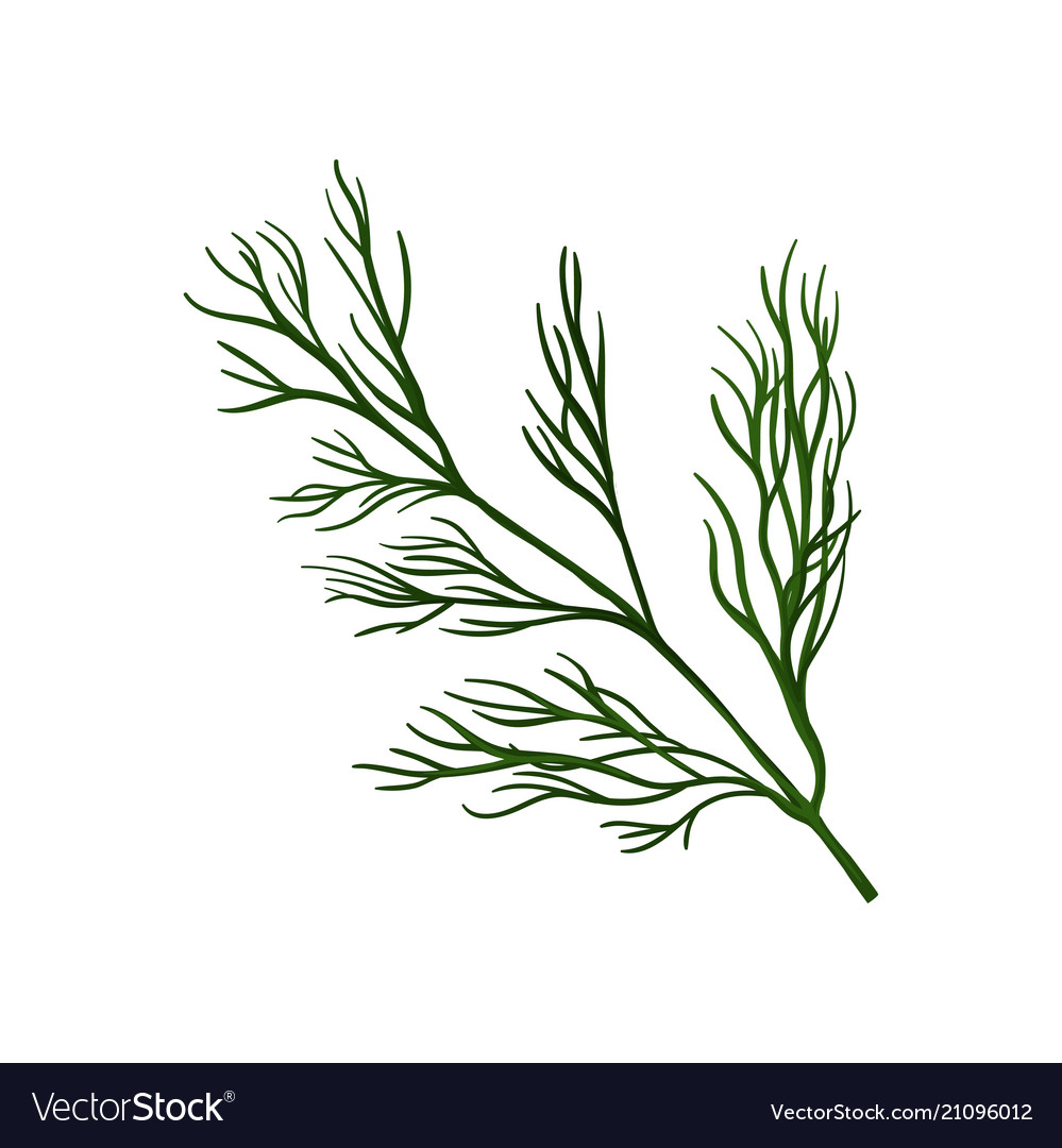 Branch of fresh green dill ingredient for