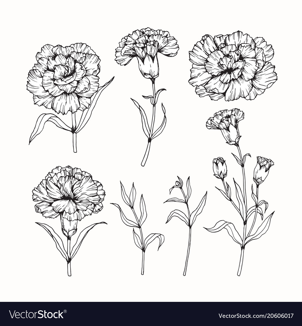 Carnation Flowers Drawing Flowers Healthy