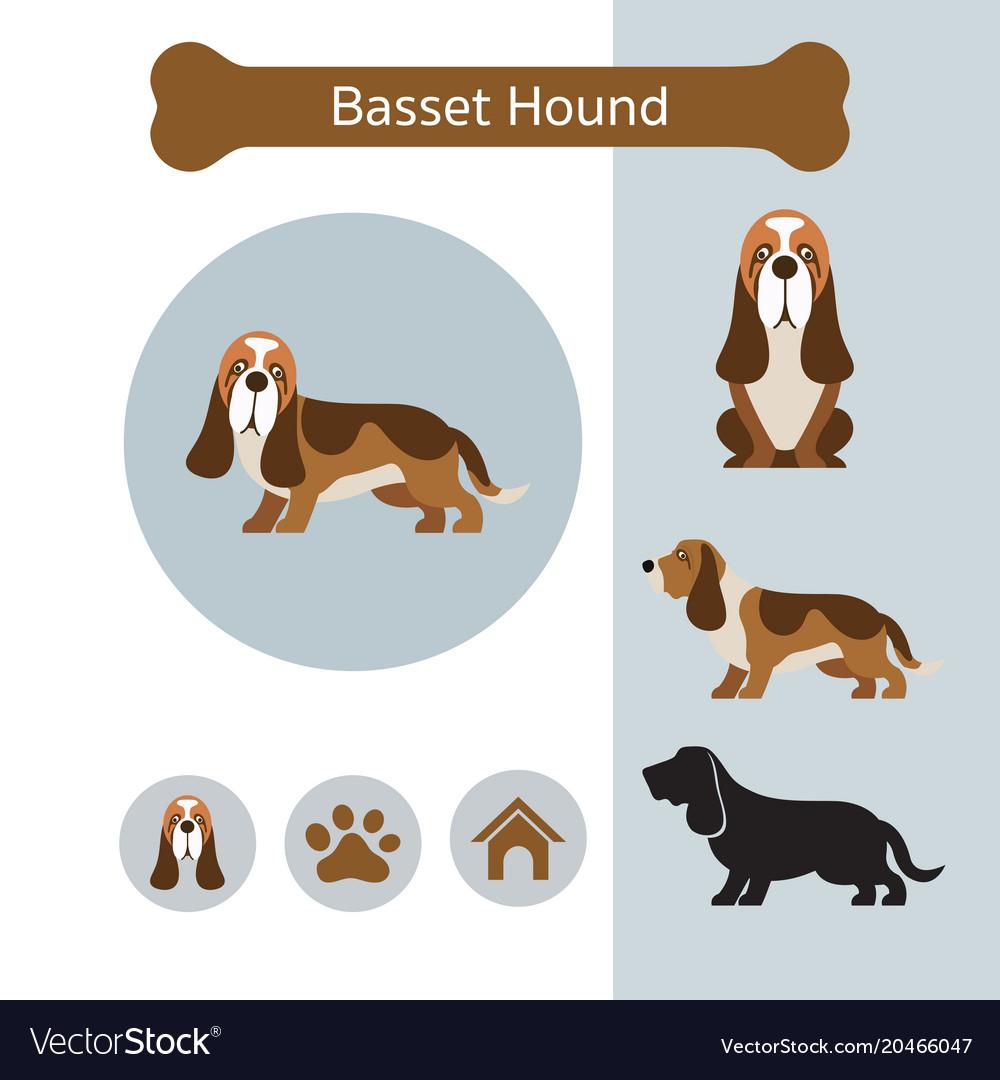 Basset hound dog breed infographic