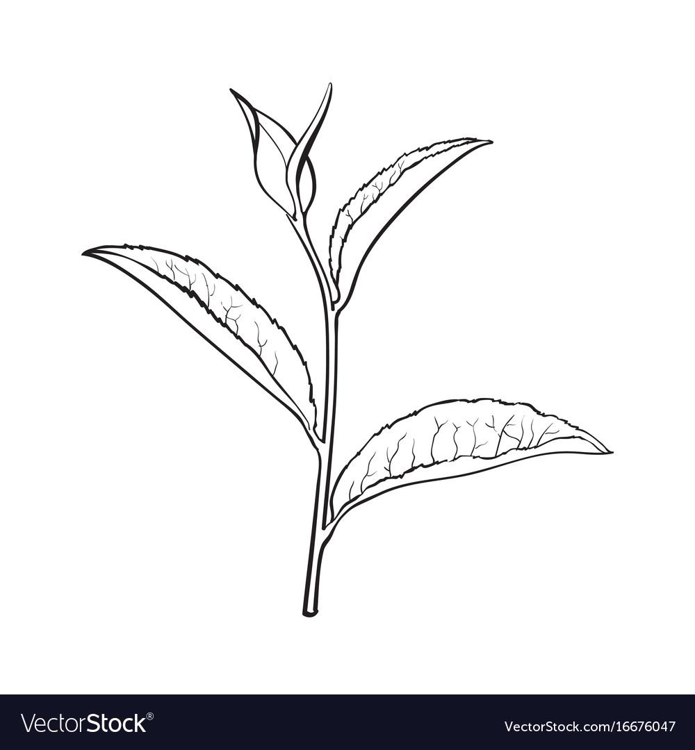 Hand Drawn Tea Leaf Side View Sketch Vector Image