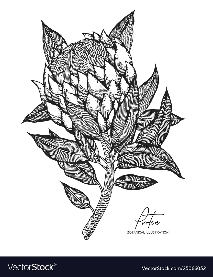 Engraved protea isolated on white