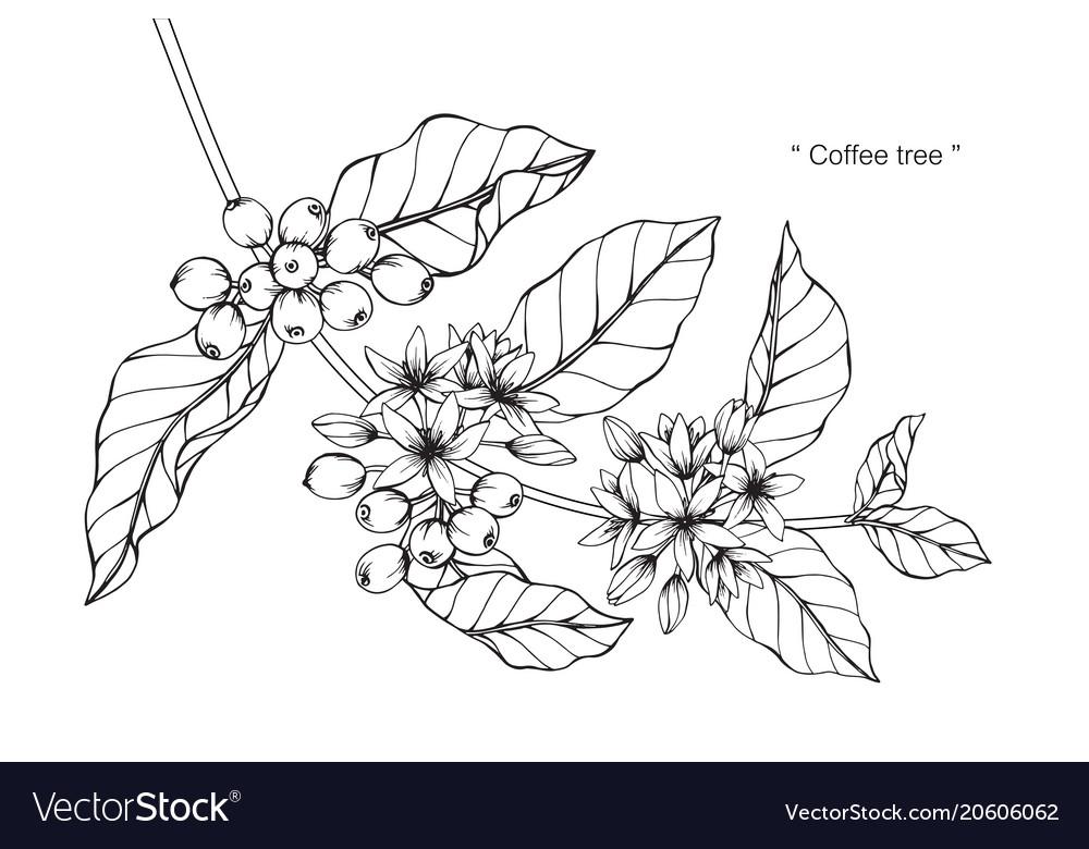Coffee Tree Drawing Royalty Free Vector Image Vectorstock