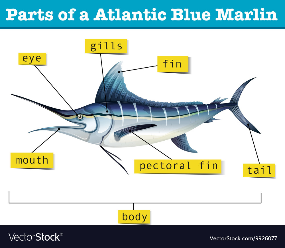 Fine Diagram Showing Parts Of Atlantic Blue Marlin Vector Image Wiring Digital Resources Spoatbouhousnl