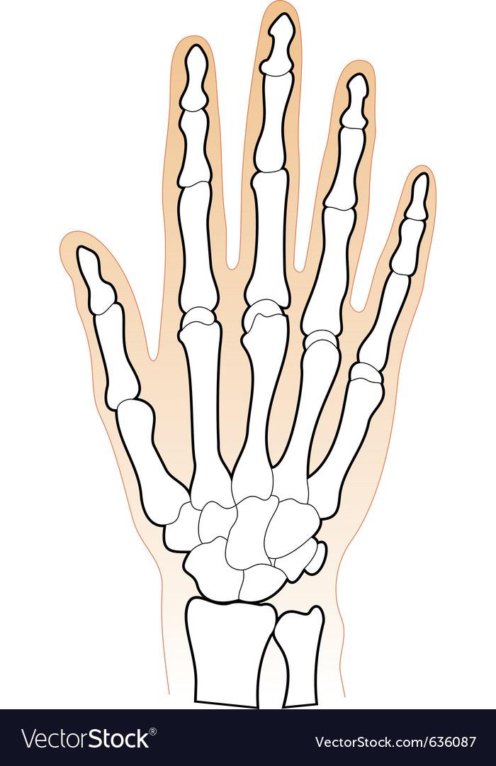 Human hands bones