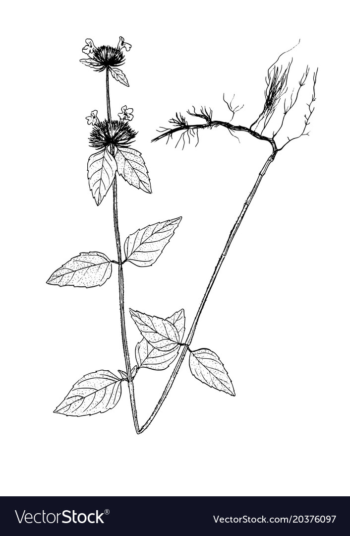 Clinopodium vulgare sketch