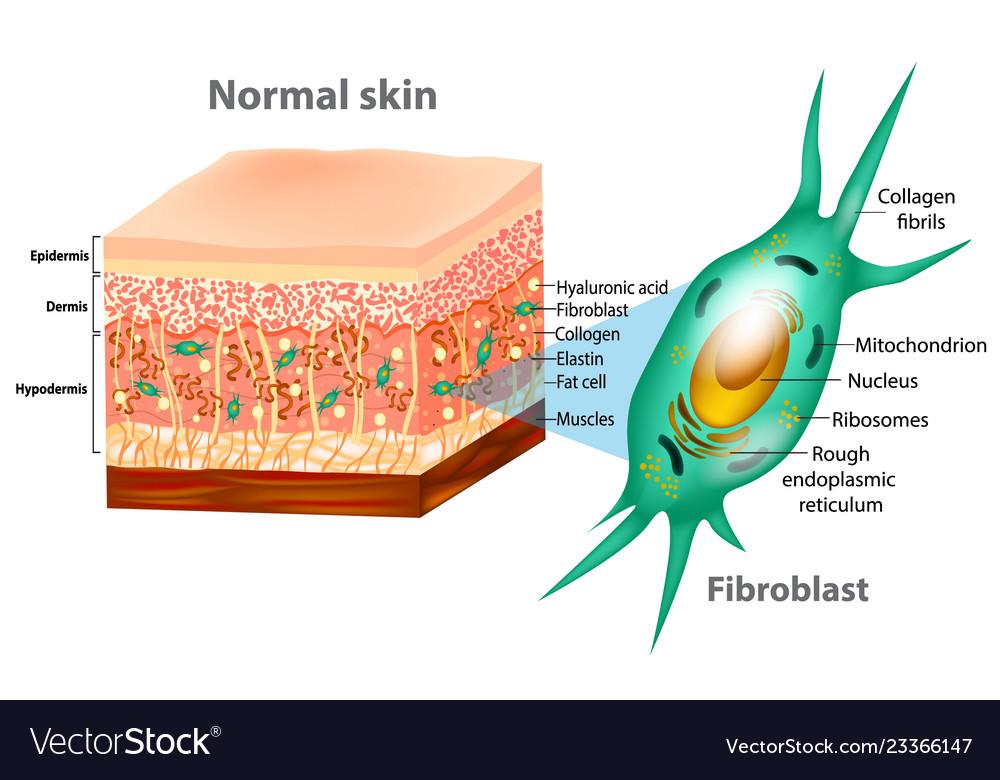 fibroblast and skin structure vector 23366147 fibroblast and skin structure royalty free vector image