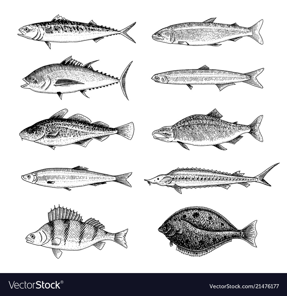 River fish perch or bass seafood for the menu
