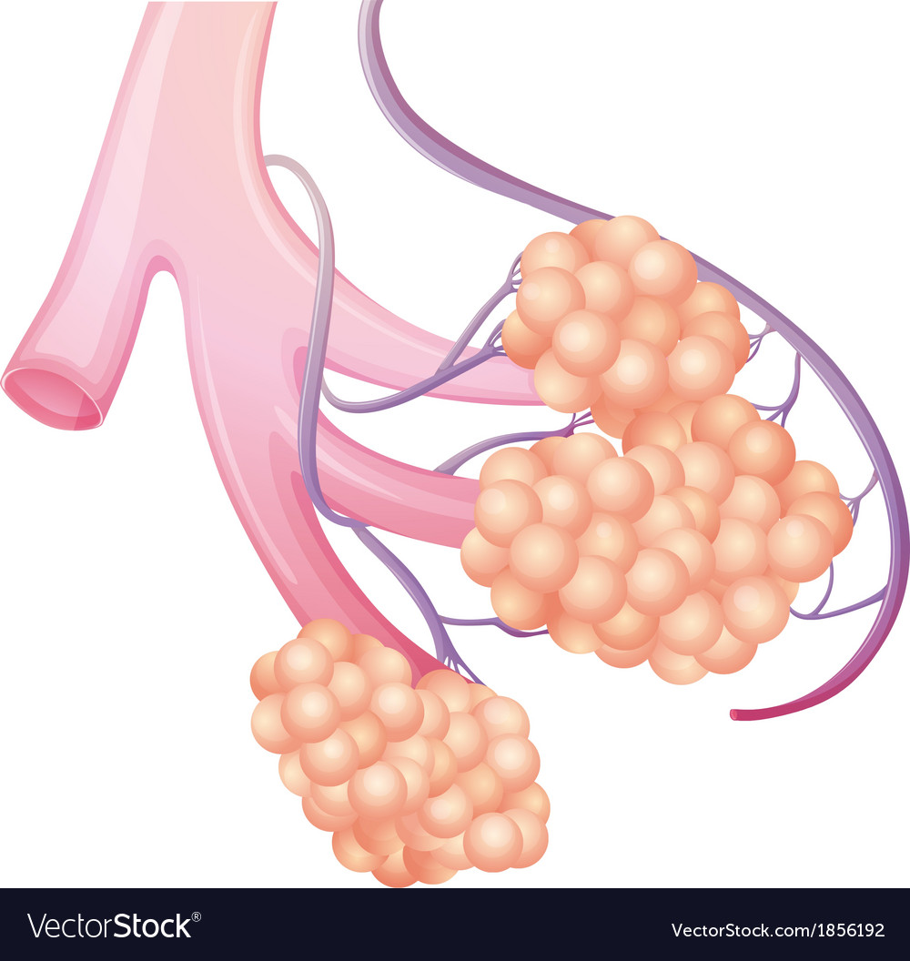 Pulmonary Alveolus Royalty Free Vector Image Vectorstock