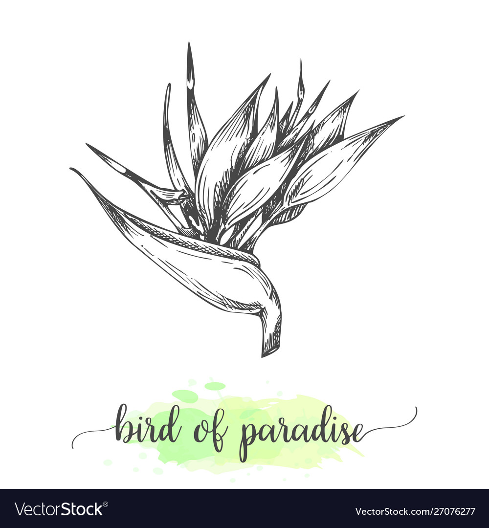 Hand drawn heliconia sketch floral background
