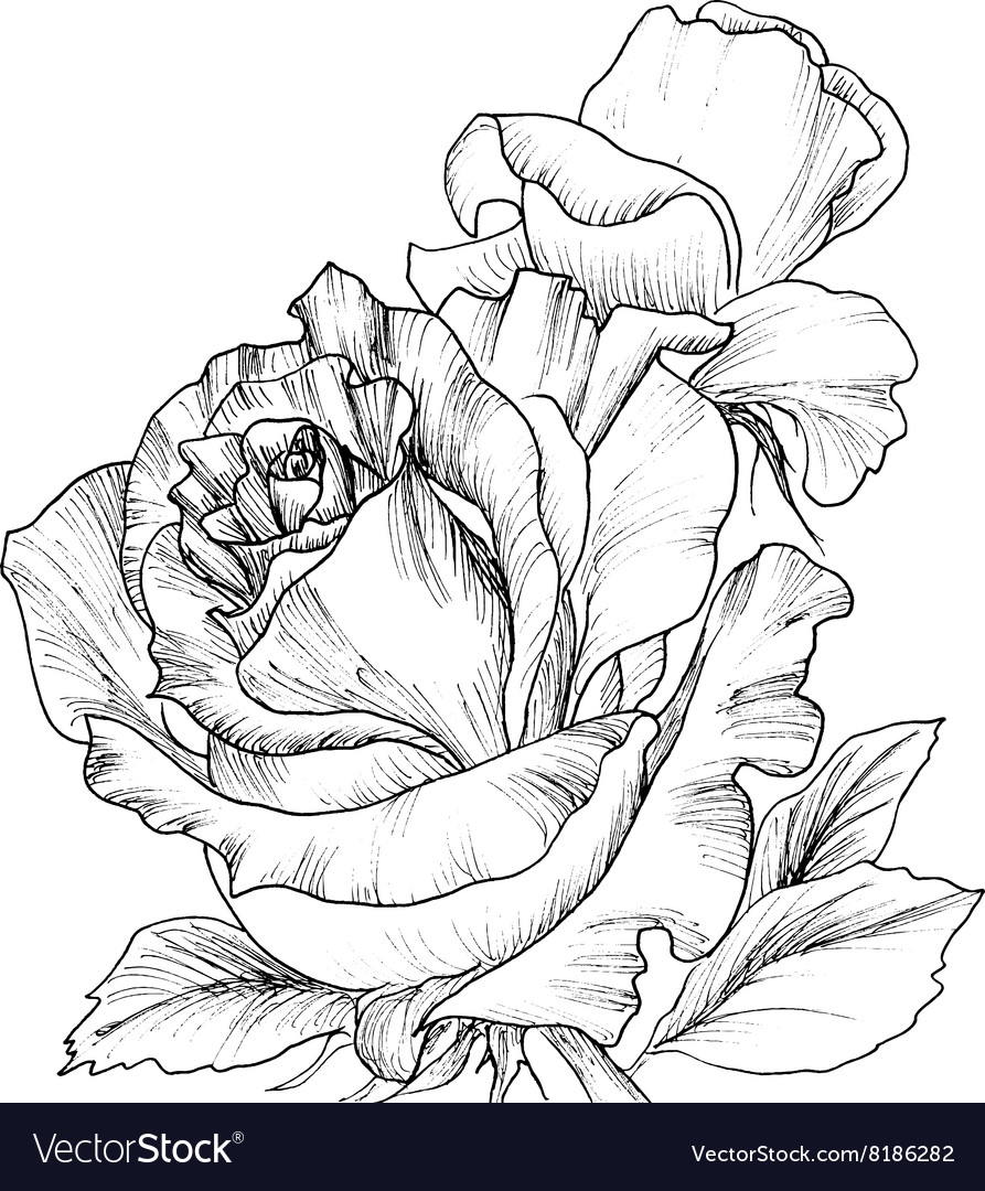 Highly detailed hand drawn roses