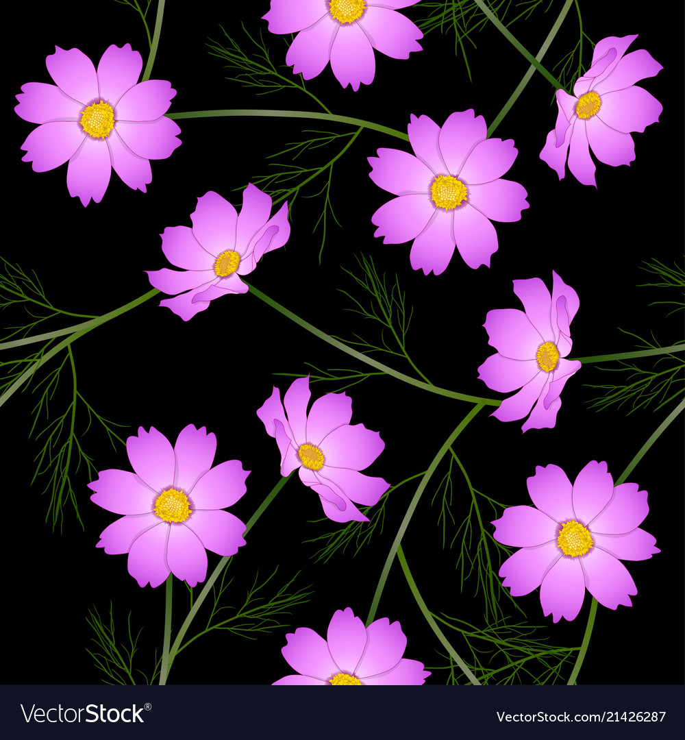 Pink Cosmos Flower On Black Background Royalty Free Vector