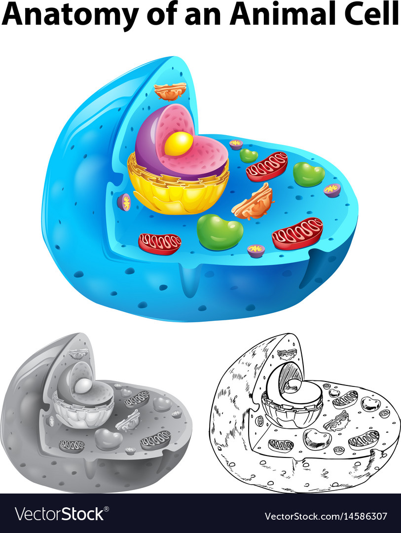 Anatomy of animal cell in three different drawing vector image