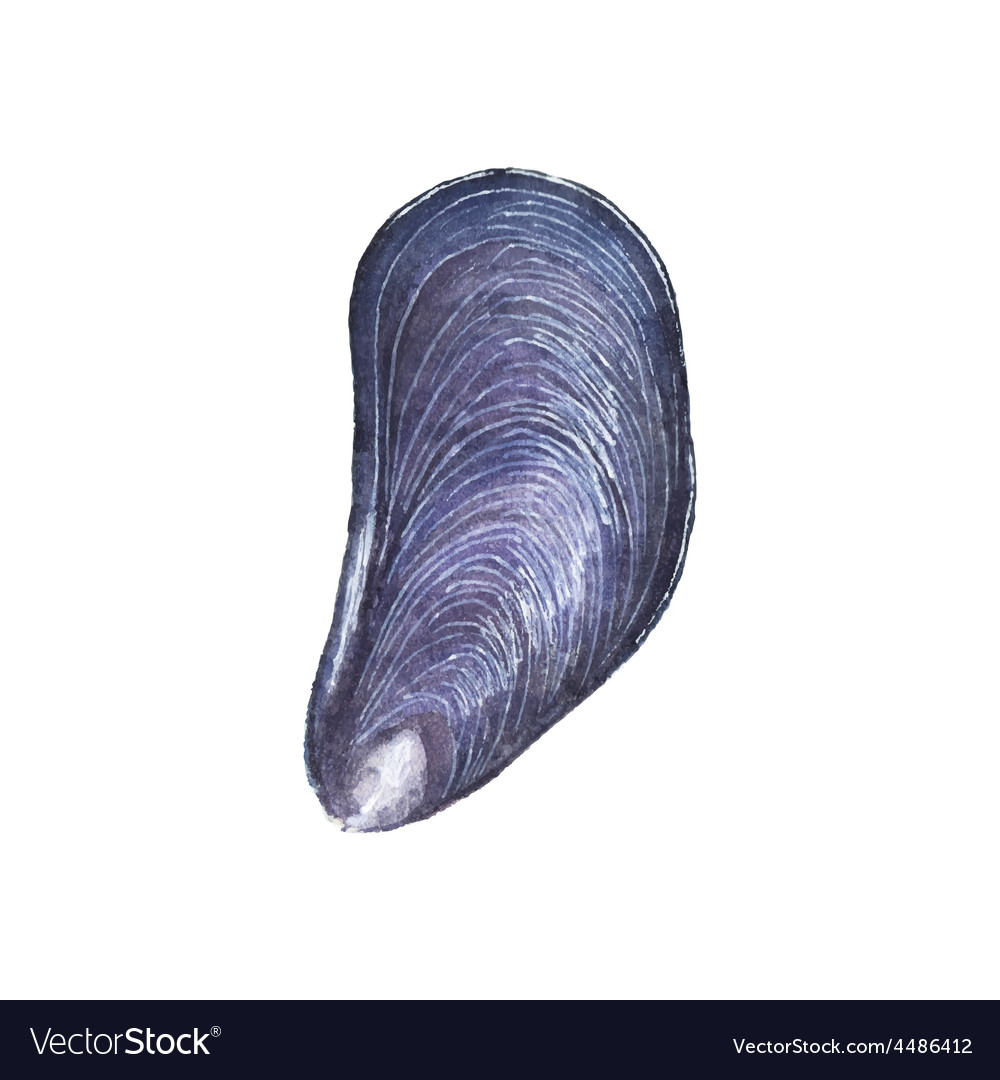Watercolor mussel on the white background
