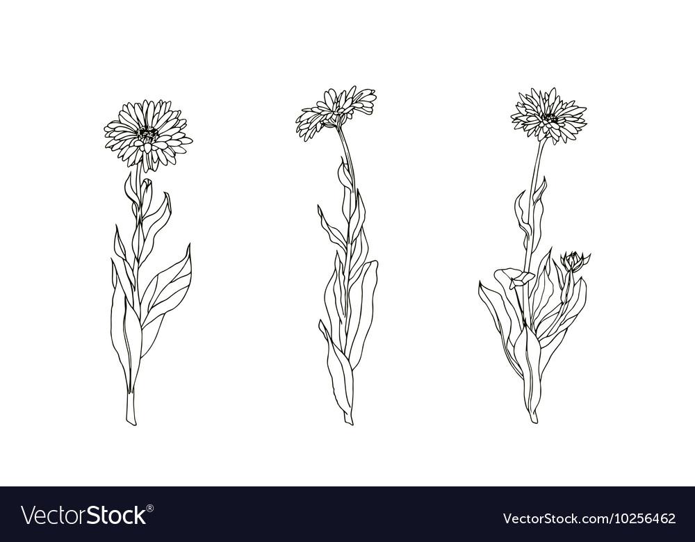 Set of medicinal plant Black and white calendula