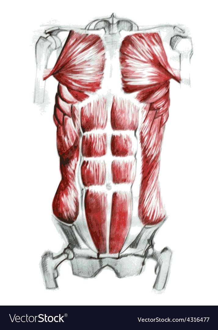Abdominal Muscles Royalty Free Vector Image Vectorstock